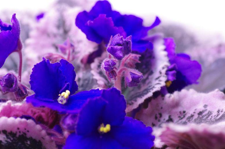 1_african_violet